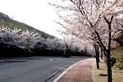 블루원 벚꽃 엔딩! 벚꽃길을 거닐며~ 관련이미지